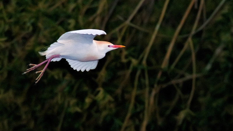 Cattle Egret Forward Scout