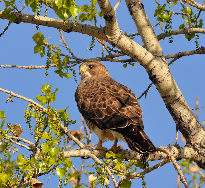Beauty Buteo