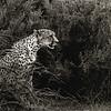 cheetah -2560