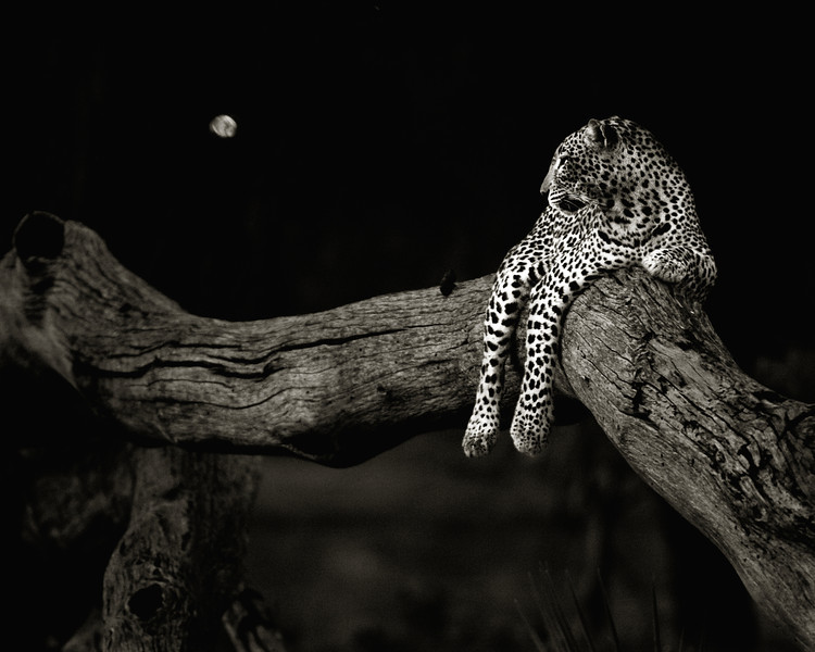 leopard at sunset-2903