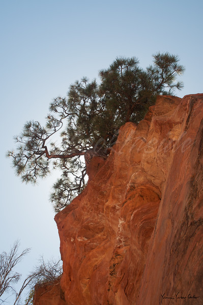 Ponderosa Pine at Zion mountain. April, 2013.