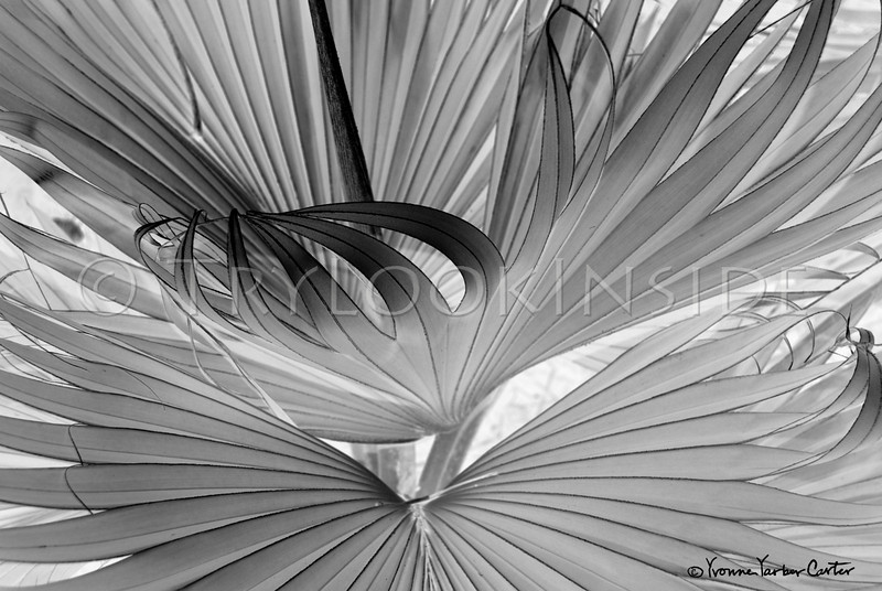"""""""Loulu Unfurls""""<br /> 2007 5th annual Black and White Photography Competition & Juried Exhibition<br /> Kahilu Theatre Foundation<br /> ©Yvonne Yarber Carter"""