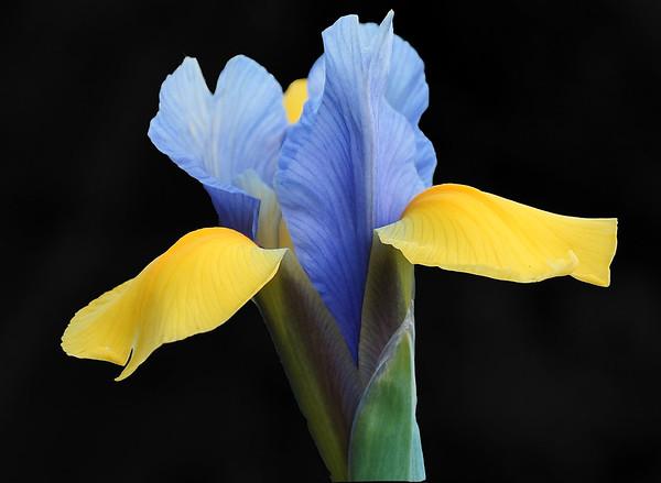 Iris b&w2