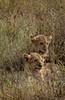 lion cubs!!
