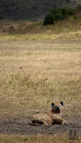 Hyena lazing..