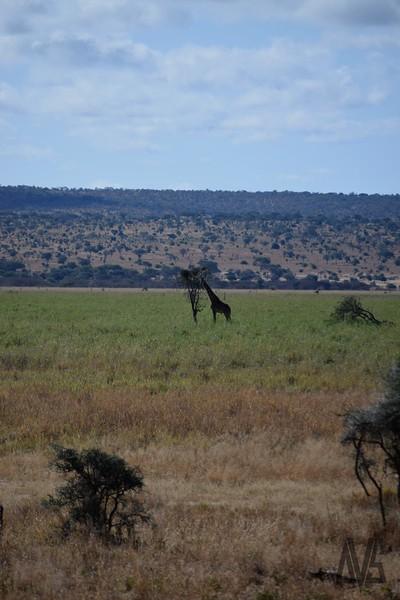 Tarangire Nature Reserve.  Tanzania, 2014