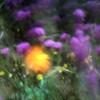 Poppy in the Wind 5