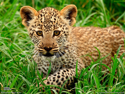 National Goegraphic photo of the day 9 July 2010 http://photography.nationalgeographic.com/photography/photo-of-the-day/leopard-cub-tanzania