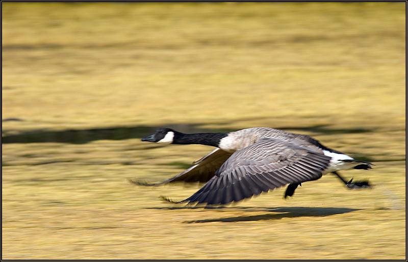 Starting goose