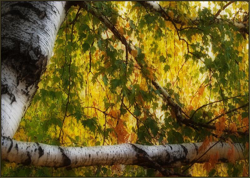 Birch tent