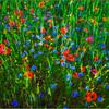 Poppies, barley, and cornflowers (Poland, 2006 & 2008)
