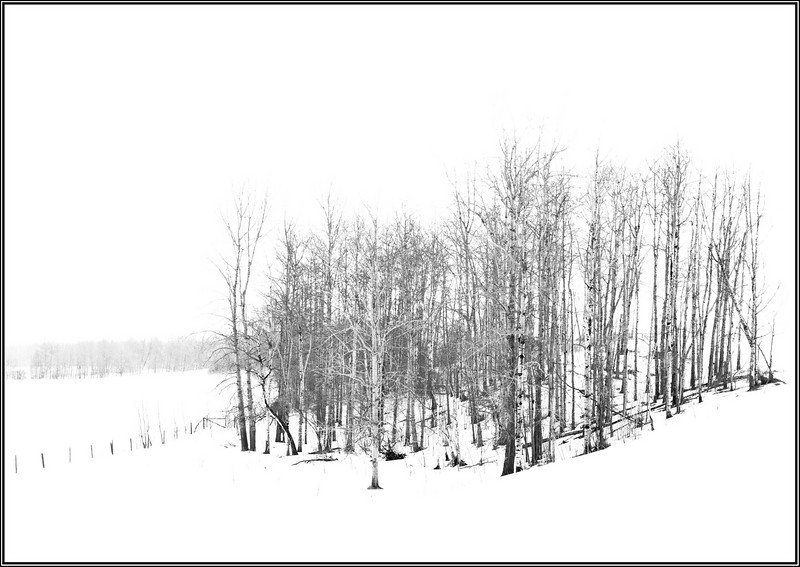 Wintering trees (Devil's Lake, Alberta, Canada)