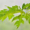 Wet green papaya leaf