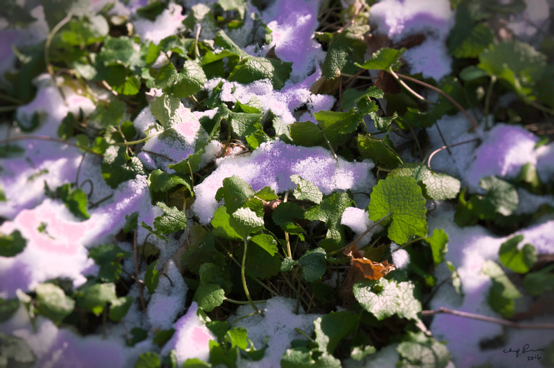 """""""LEAVES in SNOW"""" (photography) by Chip Perone"""