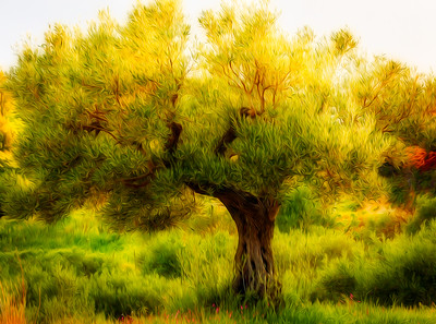 Calabrian olive tree