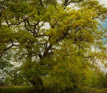 Calabrian Oak
