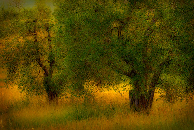 Olive tree in the morning