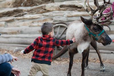 Reindeer-496