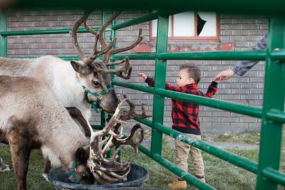 Reindeer-503