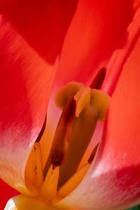 tulip-6856