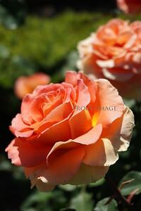 Rose's In The Rose Garden