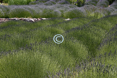 Properties Used to Determine The Quality Of Lavender