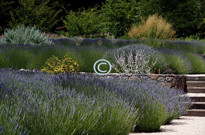 "The word ""lavender"" is derived from the Latin word ""lavare"" or ""to wash."""