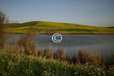 Sonoma Mustard Hill
