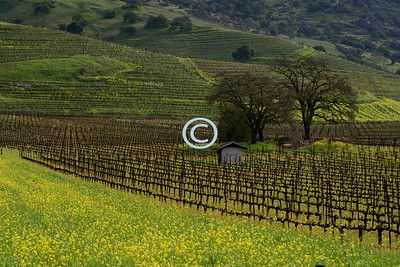 The fields are greens the vineyards are carpeted with mustard