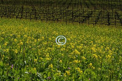 Mustard, wildflowers and vineyards
