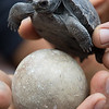 Baby Galapagos Turtle and Egg