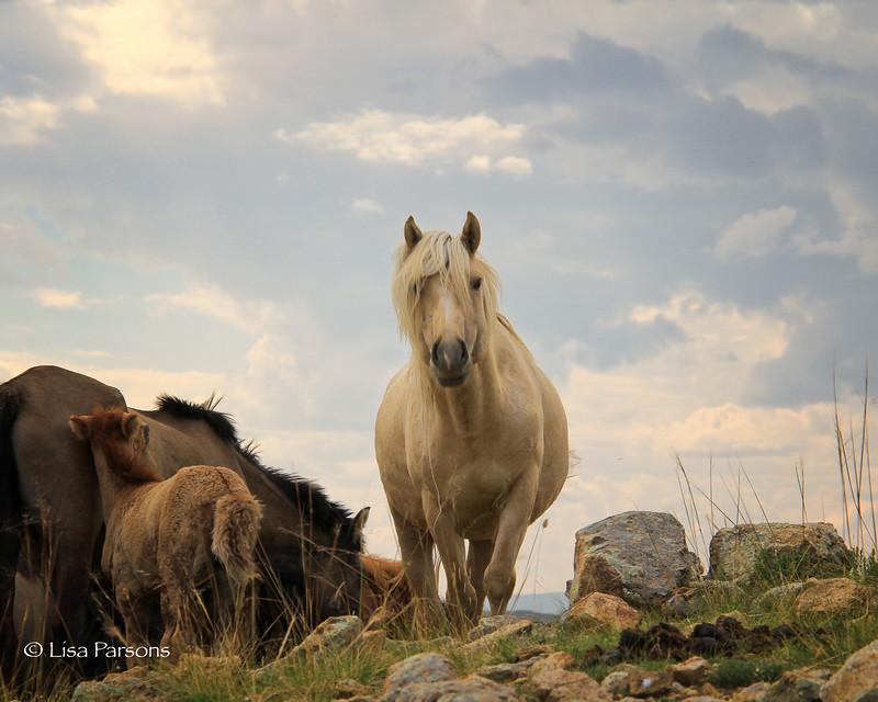 Mongolian Stallion