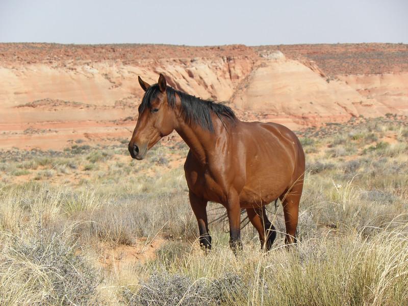 Wild Horse of the Southwest
