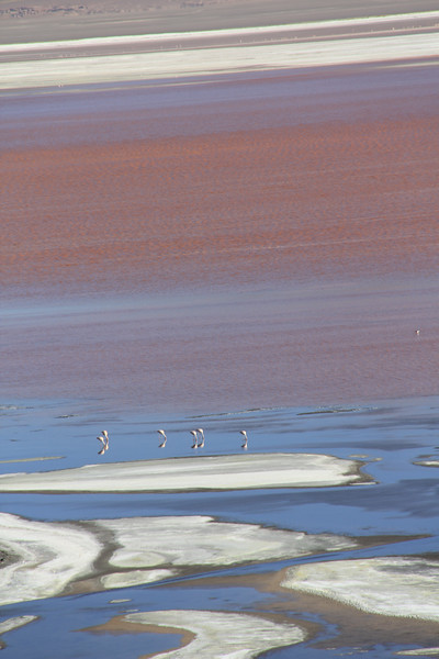 Flamingos in the Laguna Colorada