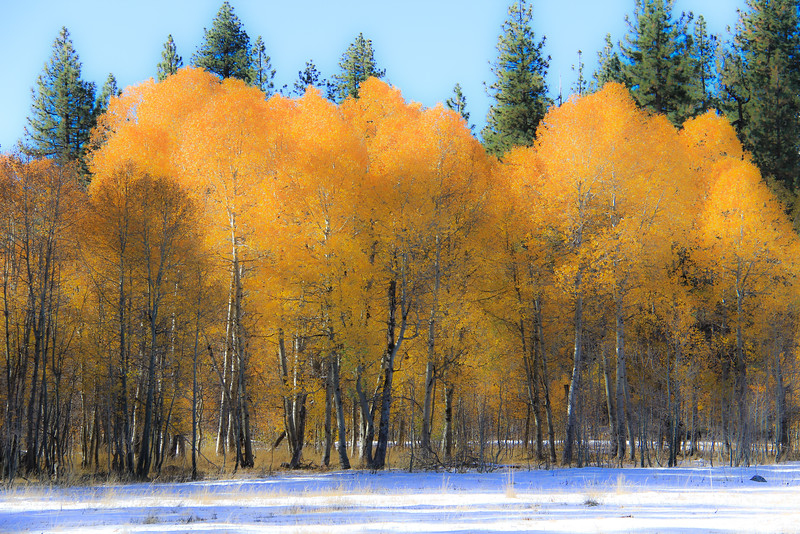 Autumn Aspens and Early Snow