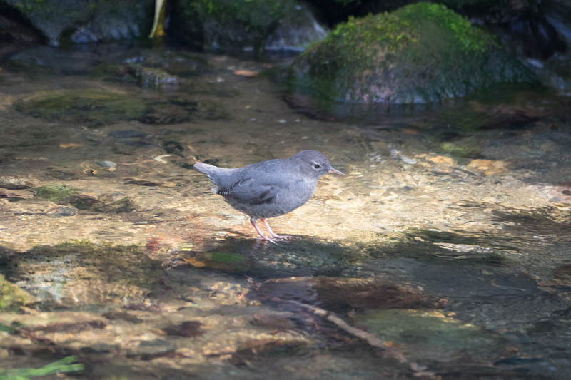 Water Ouzel at Icy Creek