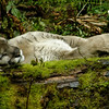 Sleeping Cougar