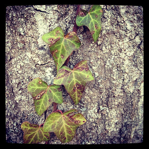 Virginia Creeper - I think.