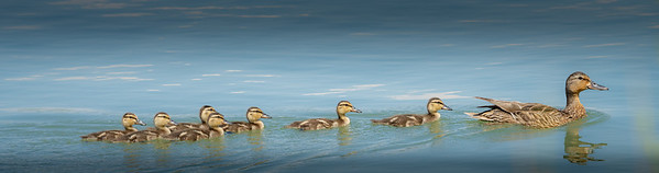 Mallard Female Family