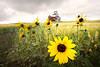 """Sunflower on the Prairie""<br /> Southern Alberta, Canada<br /> July 2016"