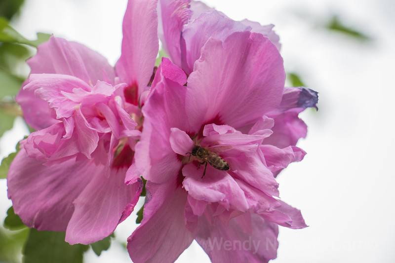 Bees are attracted to beautiful spring pink Rhododendron blooms in a northwest garden