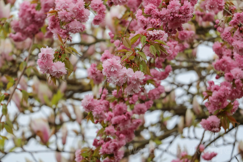 Spring Flowers and cherry blossoms in Vancouver
