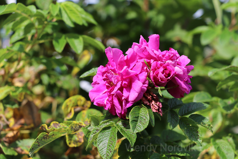 Wild roses grow in meadows of the beautiful PEI countryside