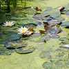 Floating water lilies in  Zaanse Schans, Holland