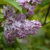 Lilac blooms - Visit Norway's oldest industrial community Alvøen museum near Bergen