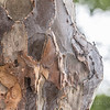 Lignum Vitae or Ironwood tree wood used to make Colonial cannon balls in the Caribbean
