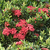 Brilliant red flowers bloom in a tropical garden on the Caribbean Island of Curacao