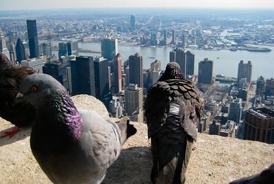 Empire Pigeons
