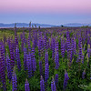 Lupine Cotton Candy