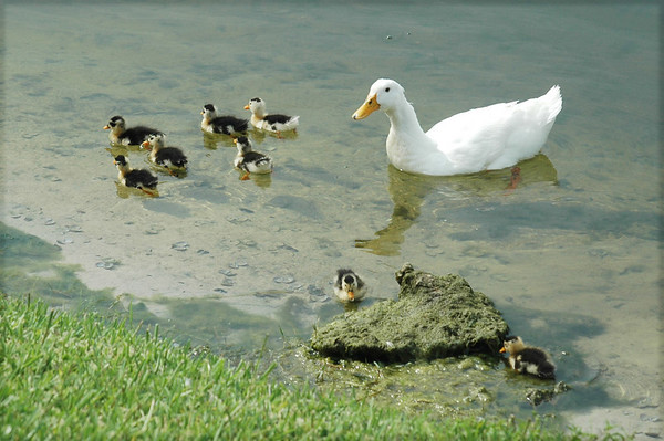 Vista Lake Ducks